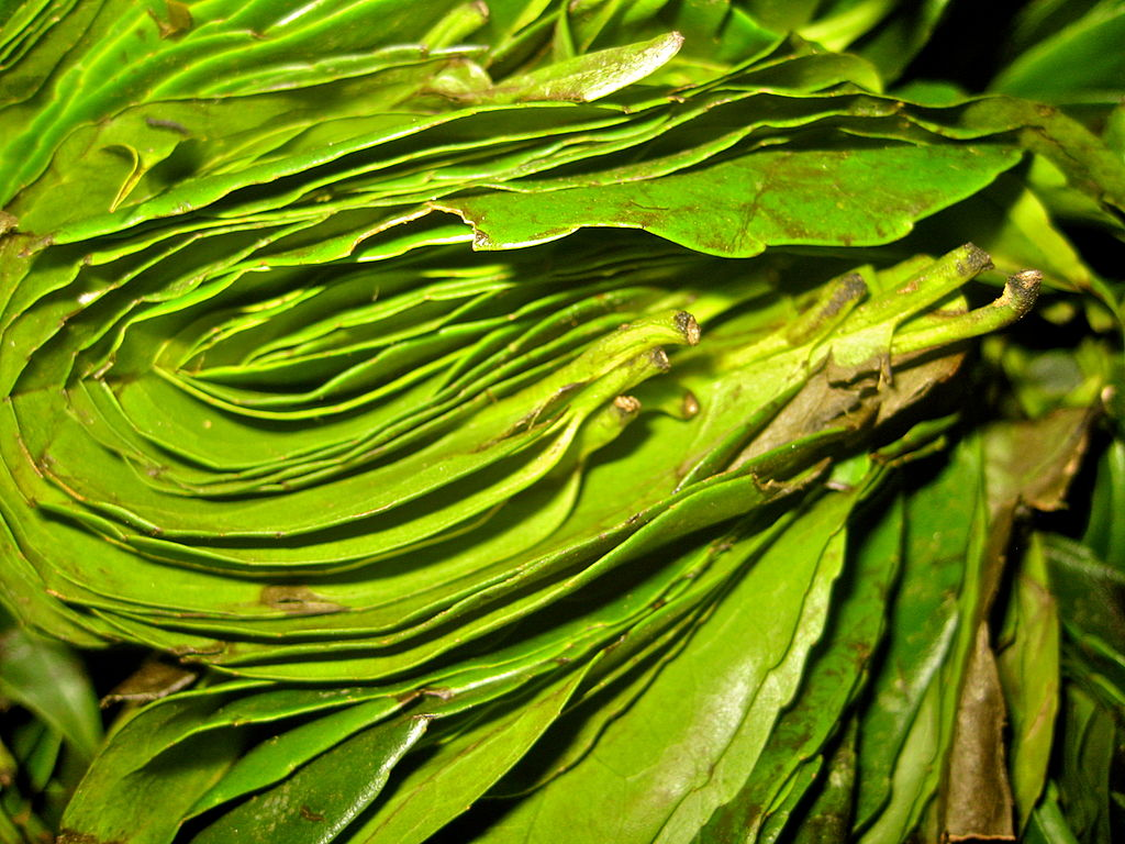 Sprasowane liście Ilex guayusa. Fot. Anna Premo. Creative Commons